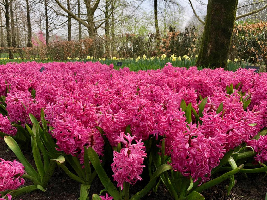 Jacinthes roses - Keukenhof Pays-Bas