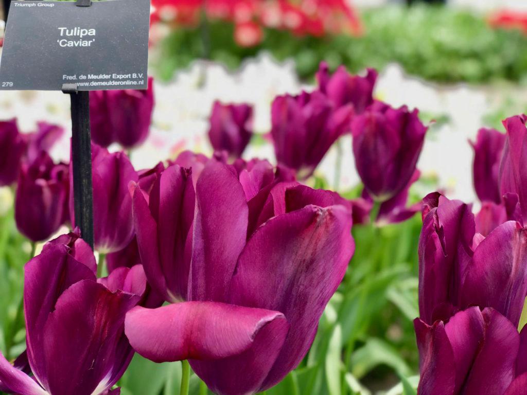 Tulipes caviar mauves - Keukenhof Pays-Bas