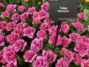 Tulipes Matchpoint - Keukenhof Pays-Bas