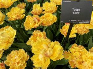 Tulipes jaunes Esprit - Keukenhof Pays-Bas