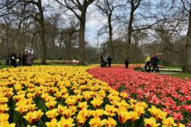 Parterre extérieur tulipes jaunes et orangées - Keukenhof Pays-Bas