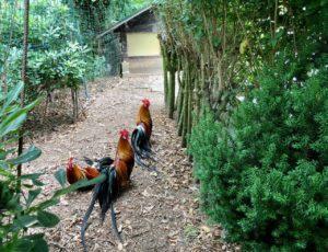 Jardins de Ly Sénarpont Somme - coqs Phoenix