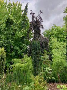 Jardins de Ly Sénarpont Somme - hêtre pleureur