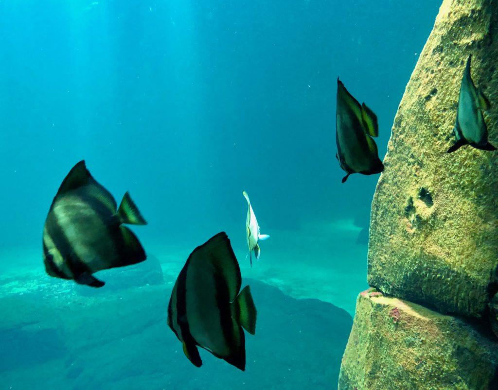 Nausicaà Boulogne-sur-Mer - trois poissons dans grand bassin