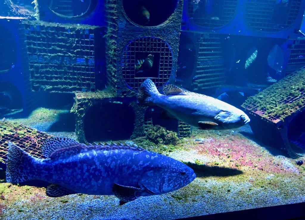 Nausicaà Boulogne-sur-Mer - aquarium avec mérous