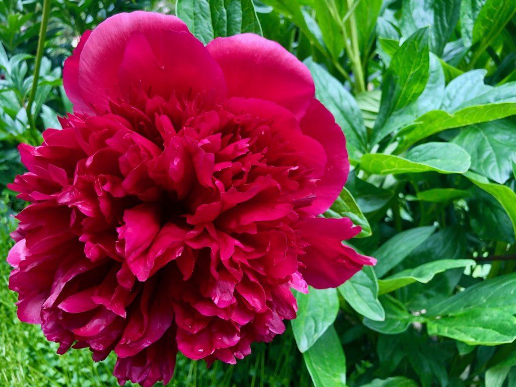 Jardin-botanique-Meise-fleur-rouge
