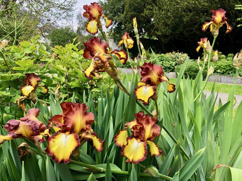 Jardin-botanique-Meise-iris-jaunes