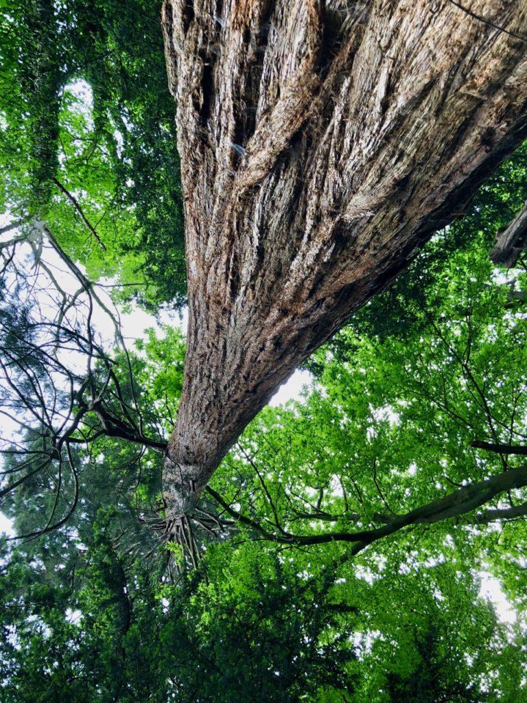 Jardin-botanique-Meise-sequoia-envers