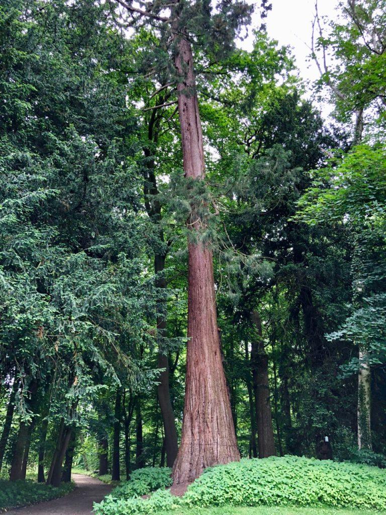 Jardin-botanique-Meise-sequoia-geant