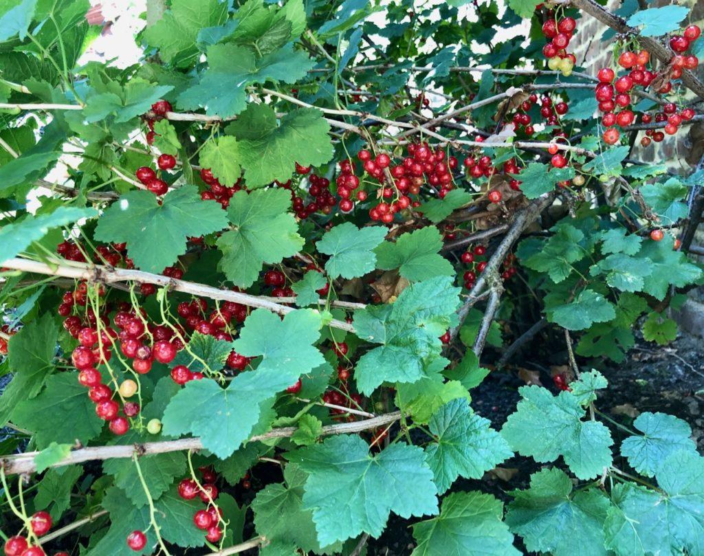 Mon jardin groseillier avec fruits