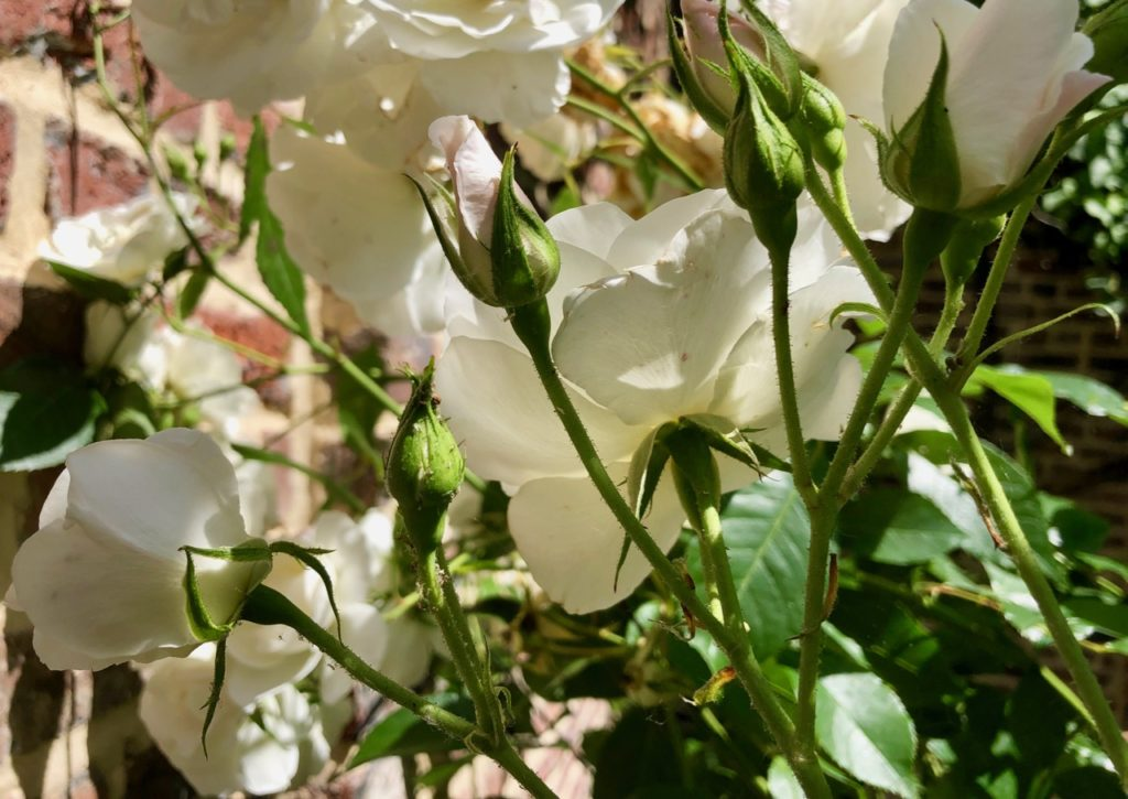 Mon jardin roses blanches