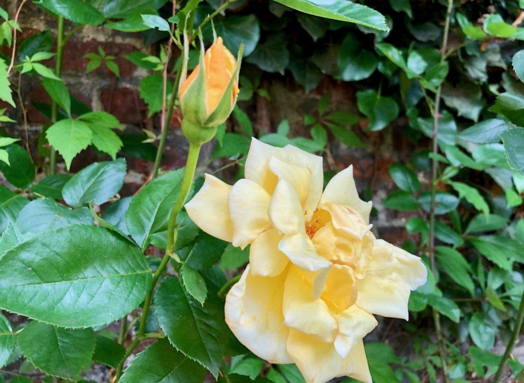 Mon jardin roses jaunes