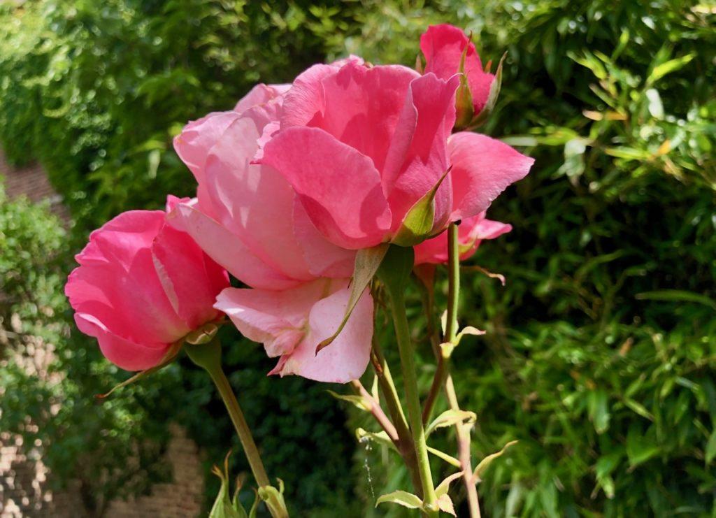Mon jardin roses roses