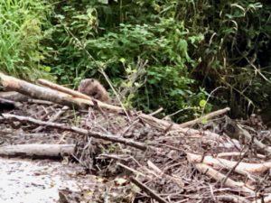 Ardennes-belges-balade-castors-barrage
