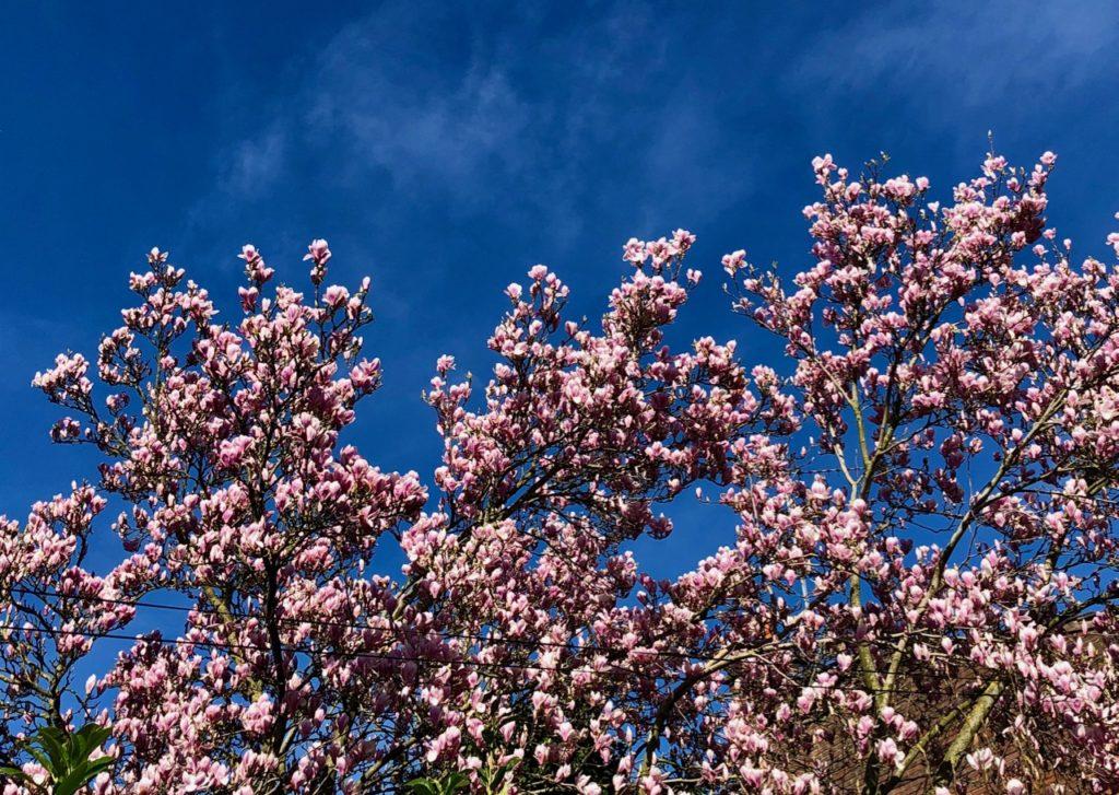 Confinement-deux-magnolia