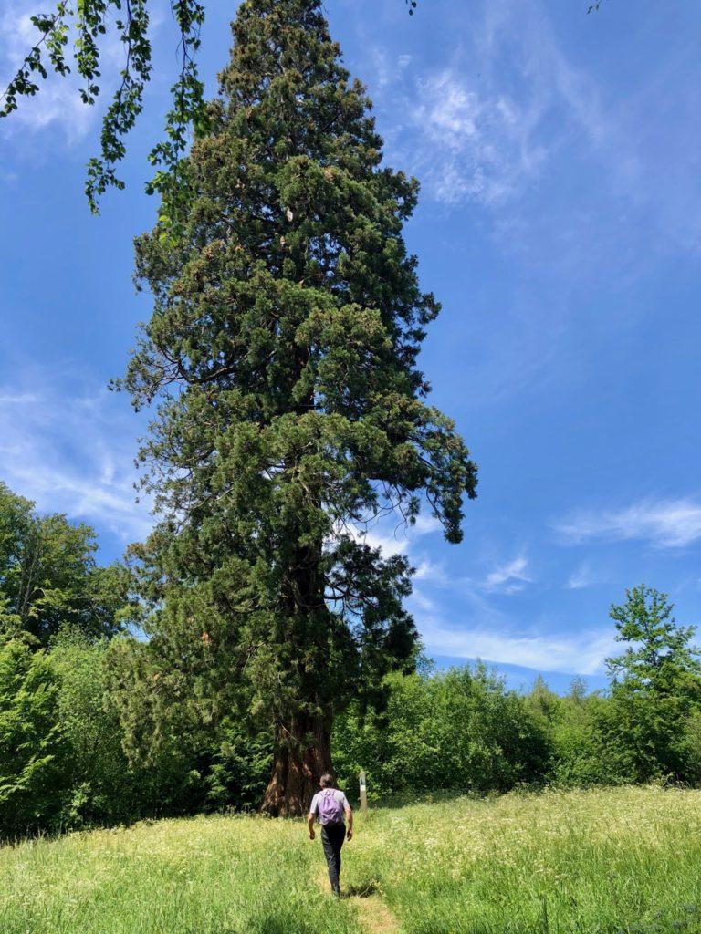 Conde-sur-l-Escaut-balade-grand-sequoia-vu-loin