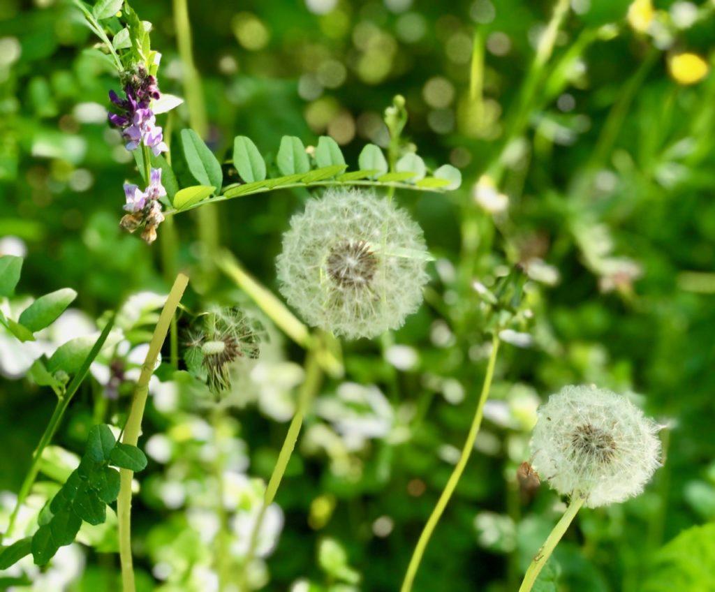 fleurs-de-pissenlit