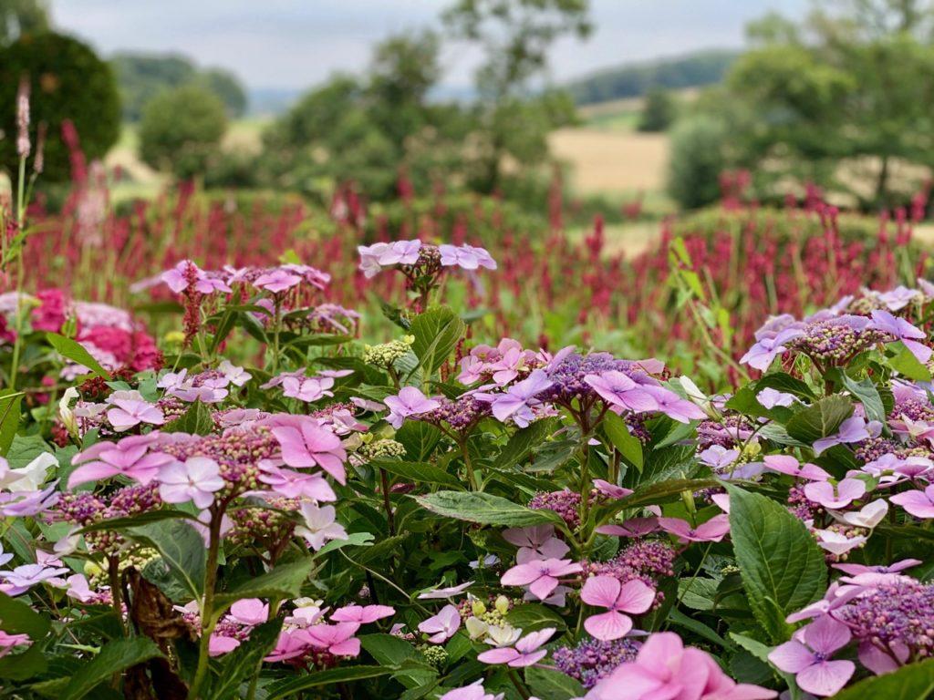 Cassel-Jardin-du-Monts-des-Recollets-hortensias-fermes-portrait
