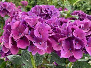 Cassel-Jardin-du-Monts-des-Recollets-hortensias-roses