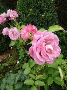 Cassel-Jardin-du-Monts-des-Recollets-roses