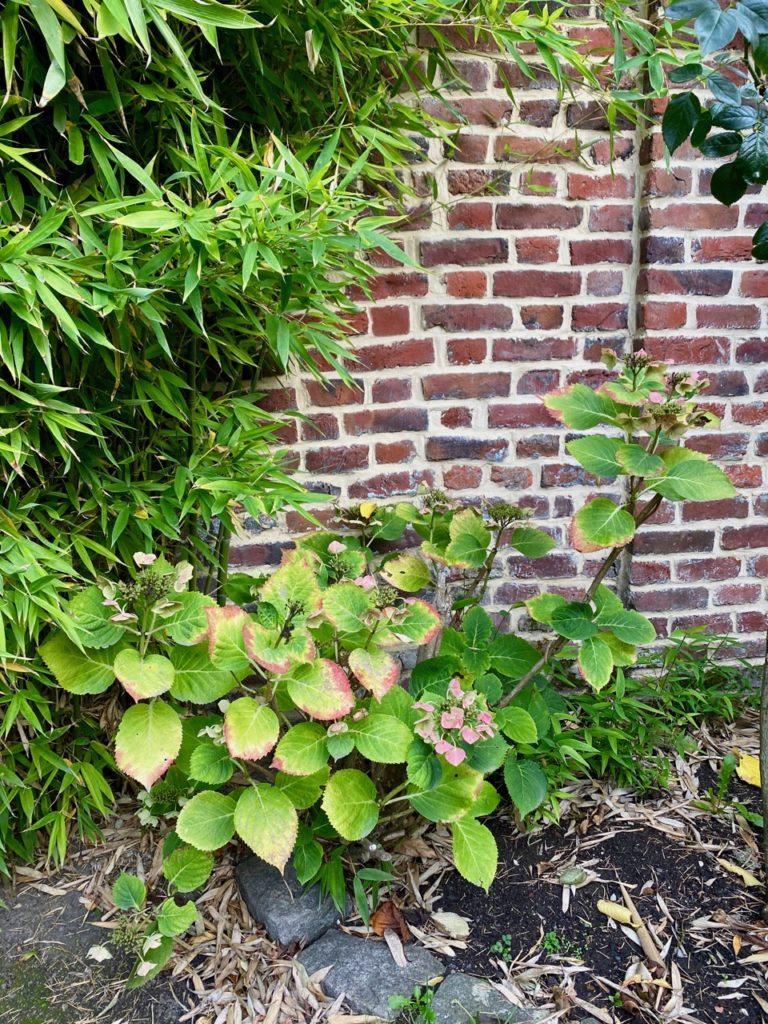 Jardin-avant-hortensia