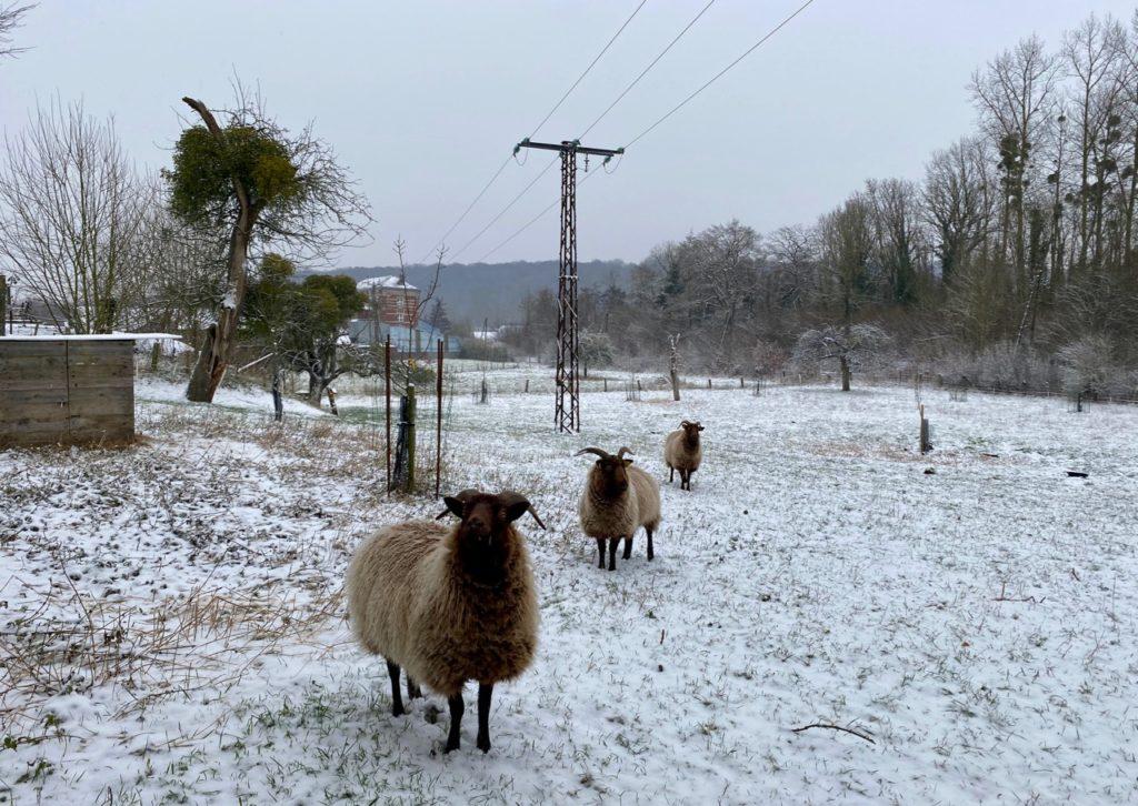 Brebis-shetland-pature-neige