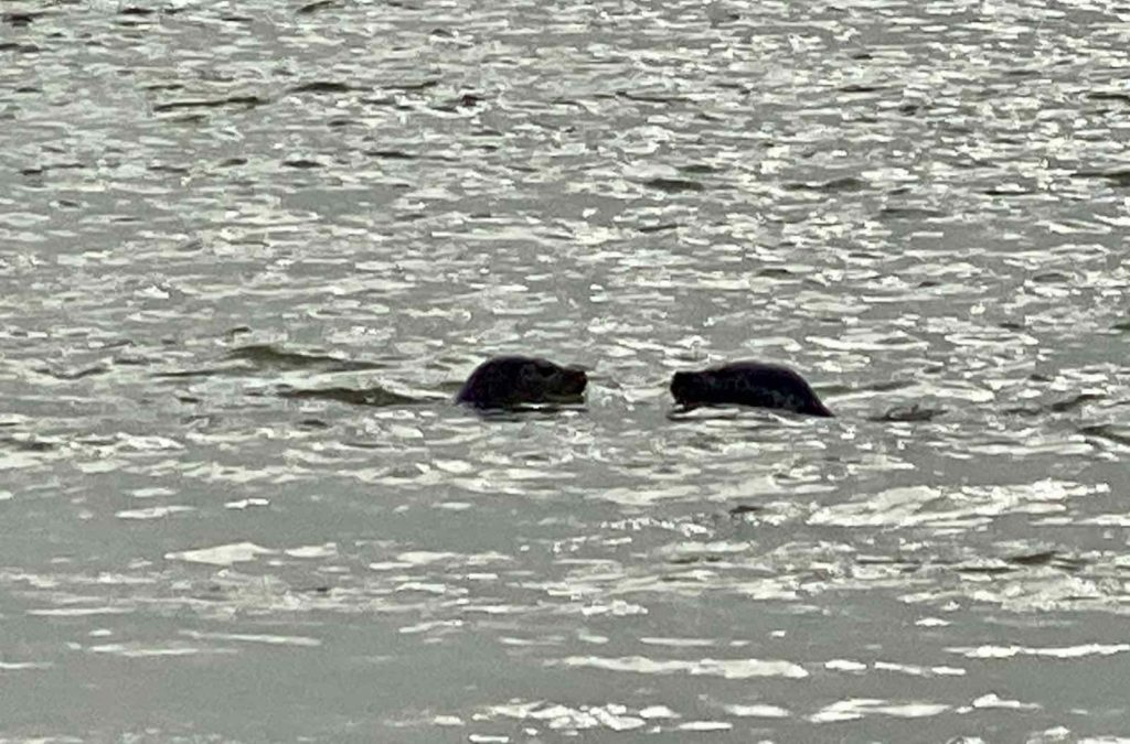 Phoques-baie-d-Authie-deux-tetes-dans-eau