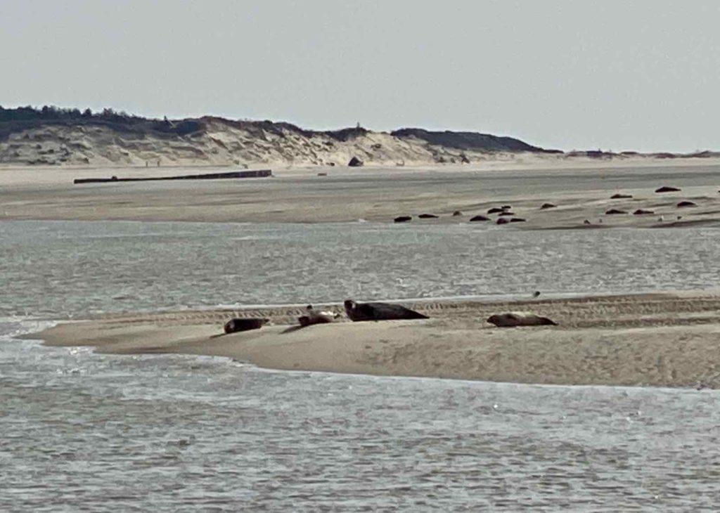 Phoques-baie-d-Authie-repos-sur-bancs-sable