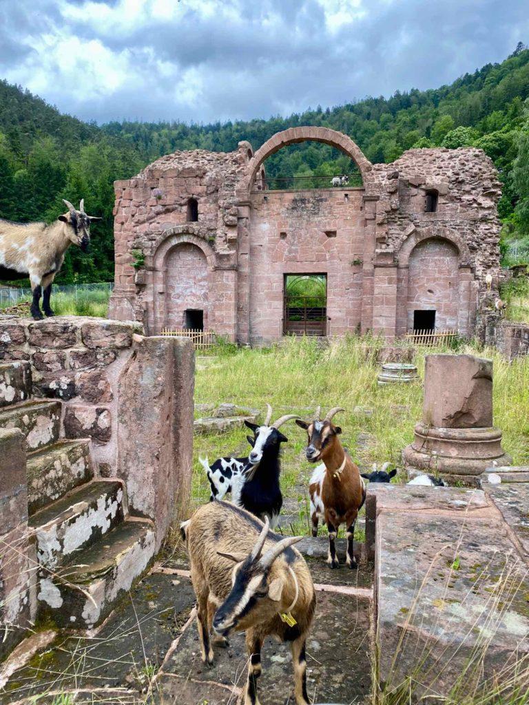 Mont-Sainte-Odile-ruines-abbaye-Niedersmunster