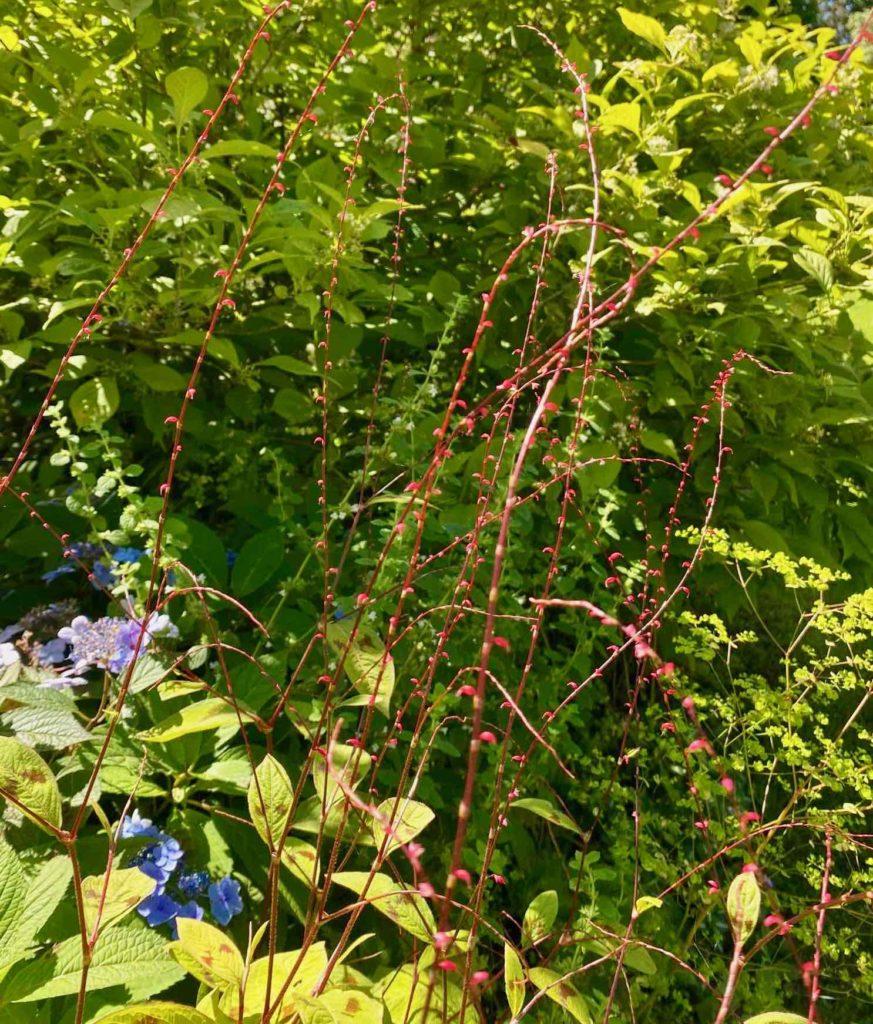 Le-Jardin-des-Lianes-Cheriennes-fleurs-rouges-minces