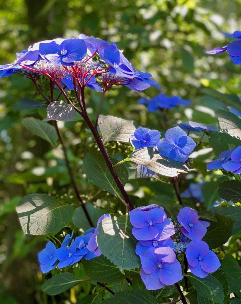 Le-Jardin-des-Lianes-Cheriennes-hortensias-ou-hydrangeas-cinq
