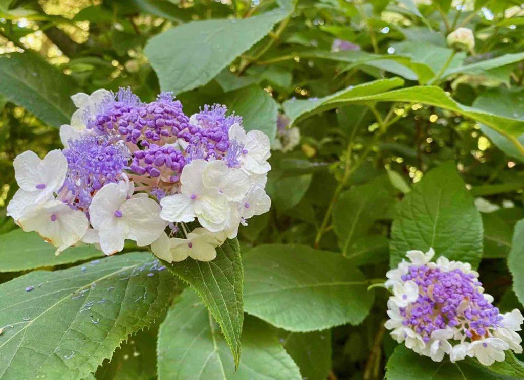 Le-Jardin-des-Lianes-Cheriennes-hortensias-ou-hydrangeas-deux