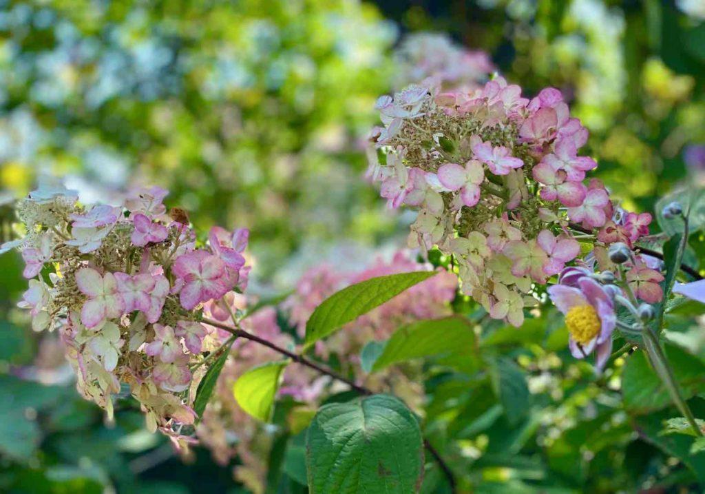 Le-Jardin-des-Lianes-Cheriennes-hortensias-ou-hydrangeas-douze