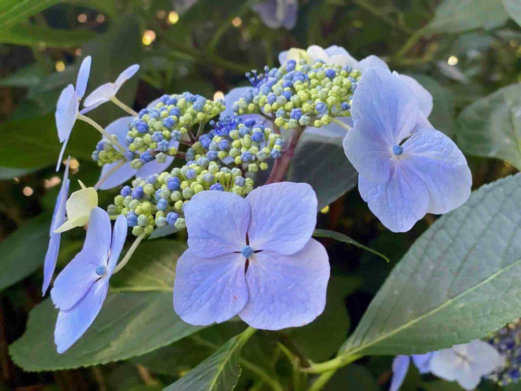 Le-Jardin-des-Lianes-Cheriennes-hortensias-ou-hydrangeas-huit