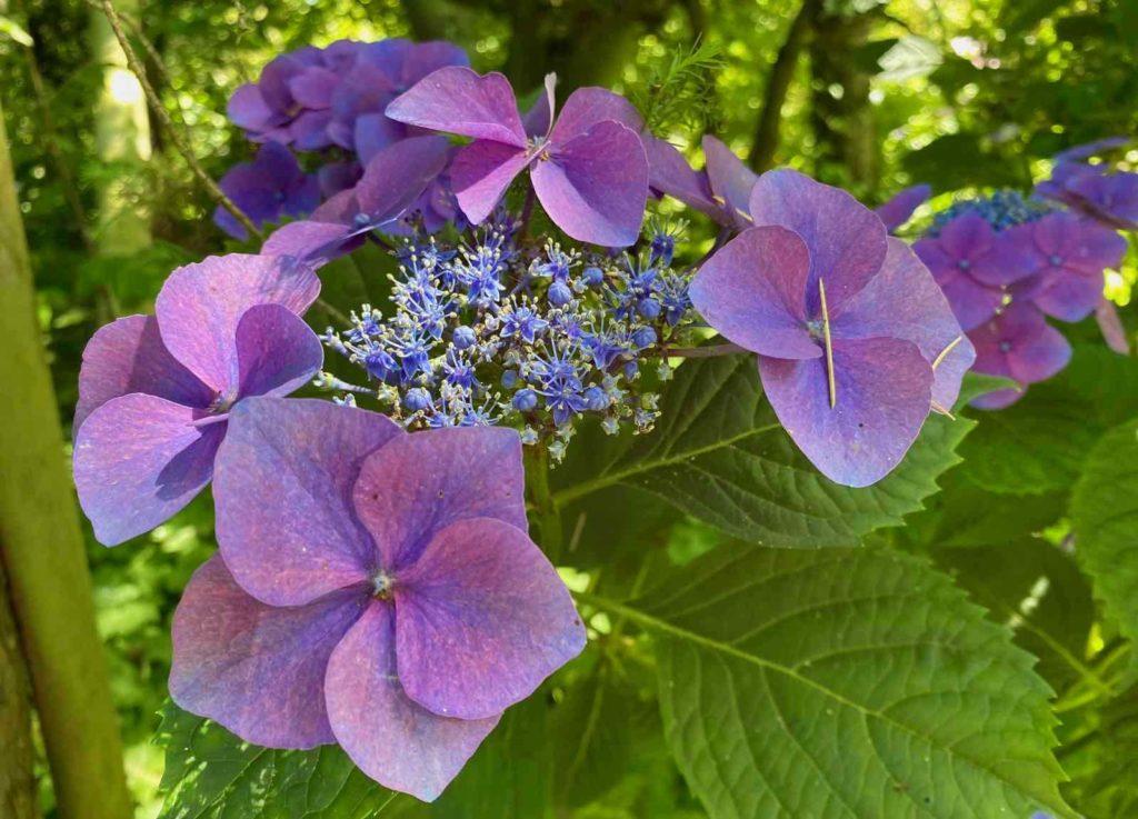 Le-Jardin-des-Lianes-Cheriennes-hortensias-ou-hydrangeas-neuf
