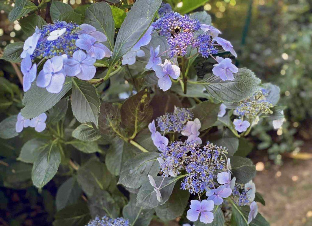 Le-Jardin-des-Lianes-Cheriennes-hortensias-ou-hydrangeas-onze