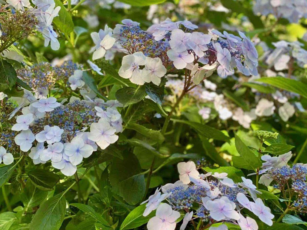 Le-Jardin-des-Lianes-Cheriennes-hortensias-ou-hydrangeas-quatre