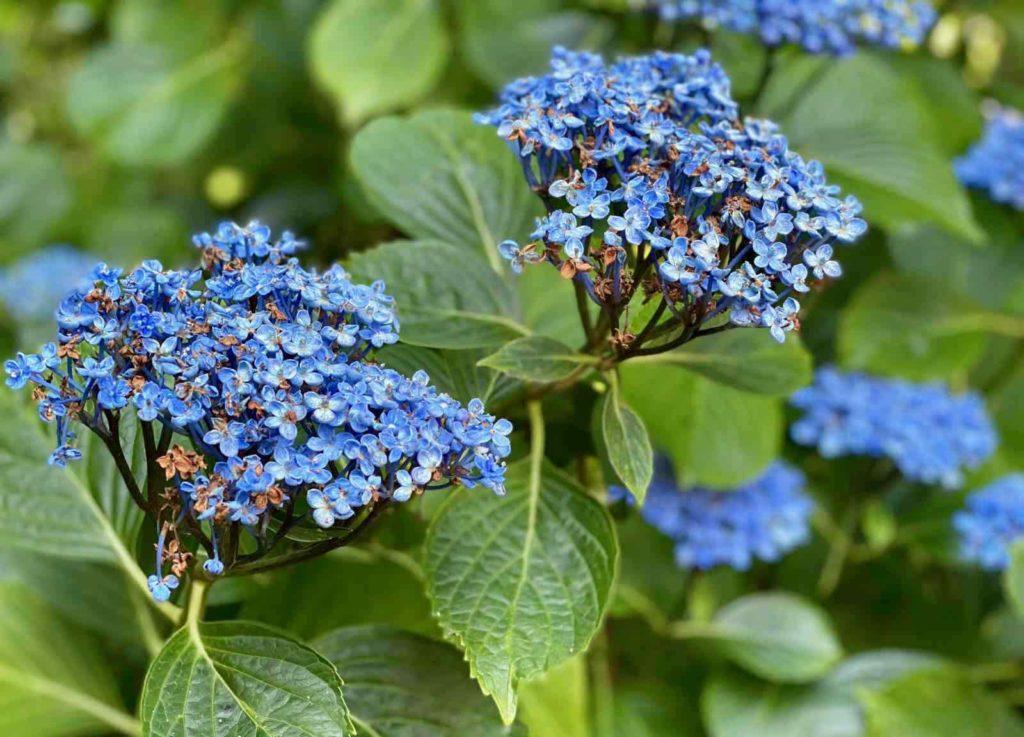Le-Jardin-des-Lianes-Cheriennes-hortensias-ou-hydrangeas-sept