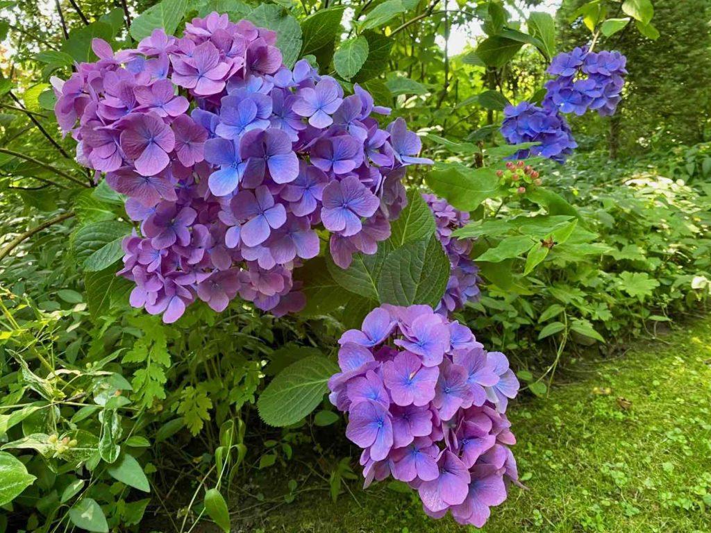 Le-Jardin-des-Lianes-Cheriennes-hortensias-ou-hydrangeas-trois