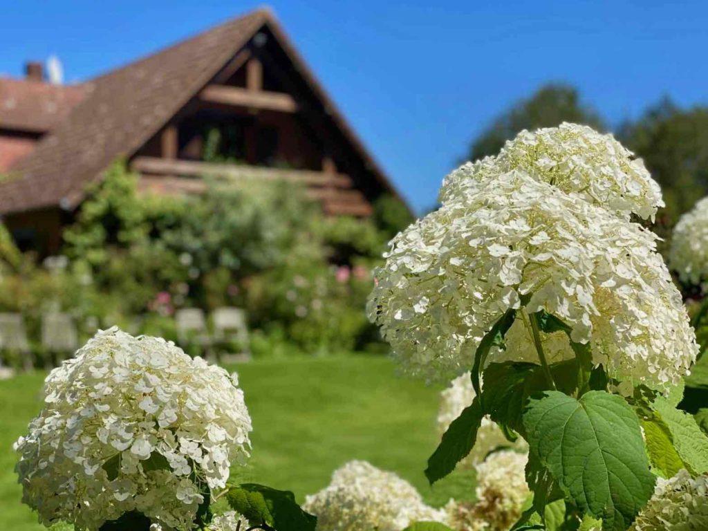 Le-Jardin-des-Lianes-Cheriennes-hortensias-ou-hydrangeas-un