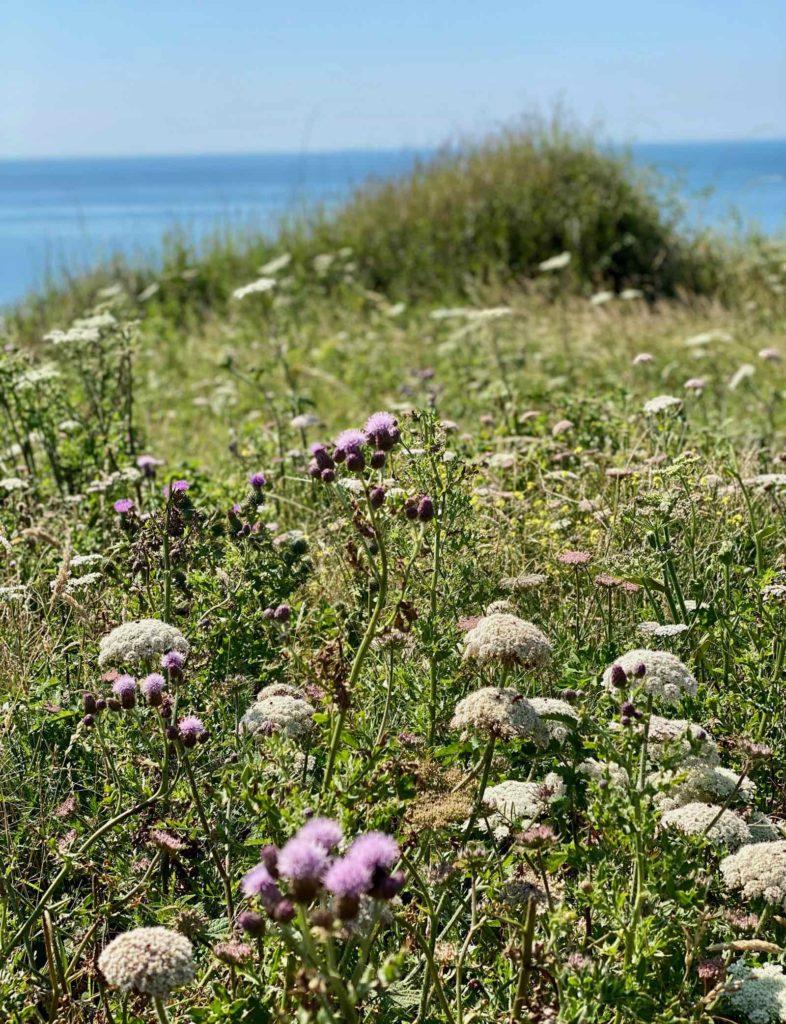 Sentier-des-Douaniers-fleurs-blanches
