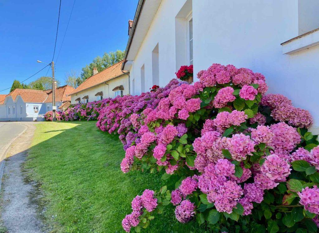Sept-Vallees-hortensias