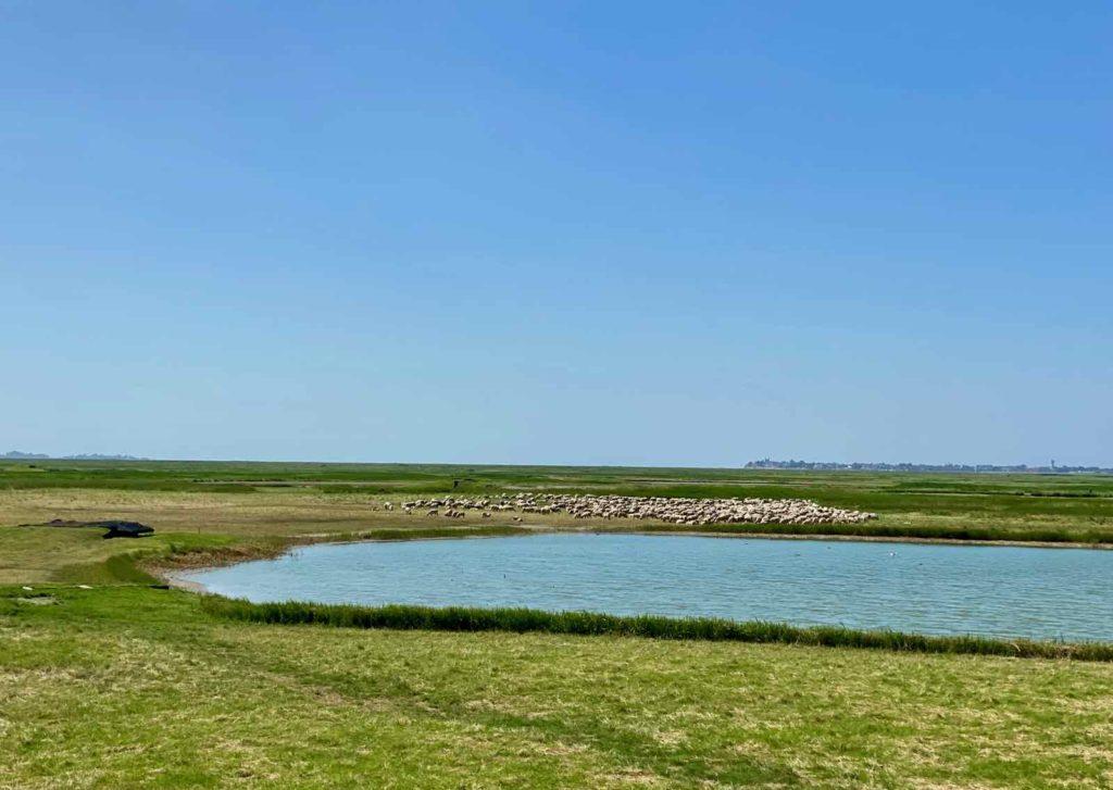 Chemin-de-fer-de-la-baie-de-Somme-moutons-pres-sales
